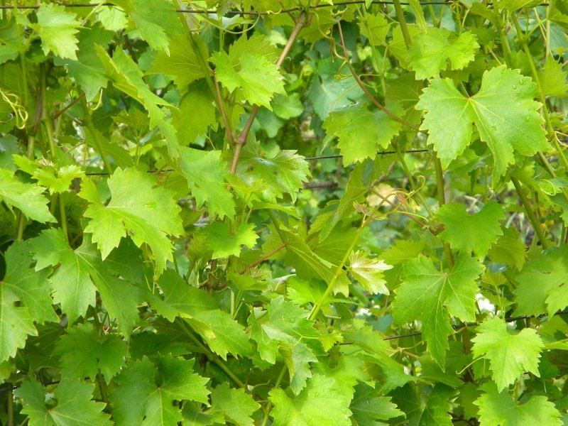 Close up of grape vines